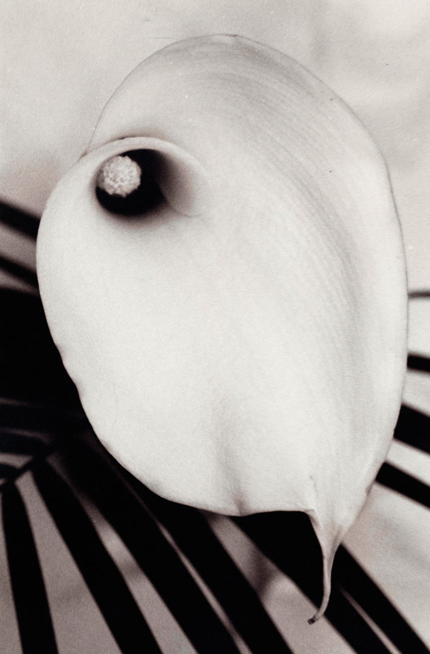 Calla, 1998, Gelatin Silver Print